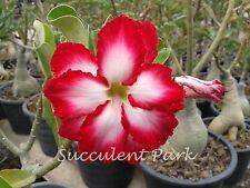 "Rosy Adenium Obesum (Desert Rose) ""Double Sweet"" grafted plant"