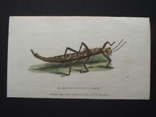 BAMBOO WALKING STICK - HARRISON CLUSE 1800 HAND COLORED COPPER PLATE ENGRAVING