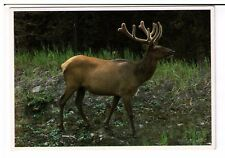 Postcard: Bull Elk - seen throughout the Rocky Mountains