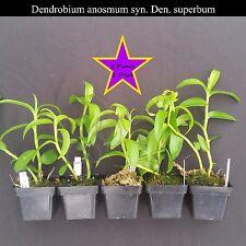 "5 Plants Fragrant Bs Dendrobium anosmum syn. superbum species ""Unscented Den."""