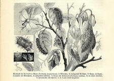 Stampa antica FARFALLE Porthesia chrysorrhoea BUTTERFLIES 1891 Old antique print