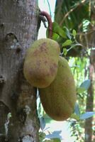 Jackfruchtbaum -Artocarpus heterophyllus- 5 frische Samen (Riesen Jackfrucht)
