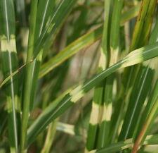 Zebra Grass Miscanthus sinensis 'Zebrinus' Seeds 20