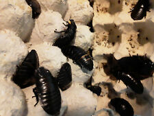 New listing 24 Count Black Madagascar Hissing Cockroaches. Dubia Roach Alternative