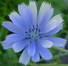 100+ Chicory Brilliant Blue Daisy-Like Perennial Flower Seeds / Great Gift