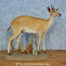 #14683 N+ | Duiker Life-Size Taxidermy Mount For Sale