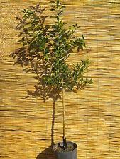 CITRUS RETICULATA Mandarino precoce pianta in fitocella Early Tangerine plant