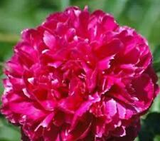 Peony/Peonies Plant [ Karl Rosenfield]Double Dark Red Shipping Fall 2017