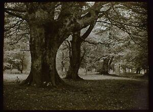 ANTIQUE Magic Lantern Slide NEW FOREST WOODLAND SCENE C1910 PHOTO TREE STUDY