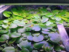 New listing Small Amazon Frogbit: Floating Freshwater Aquarium / Pond Plant 5+ bunches