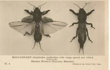 VINTAGE BRITISH MUSEUM postcard:  INSECTS - MOLE CRICKET E4