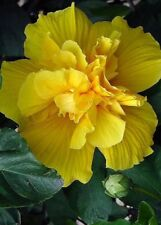 20 Rare Double Yellow Hibiscus Seeds Giant Dinner Plate Flower Garden Exotic 371