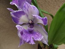 Zygocaste hybrid orchid plant FS , scented