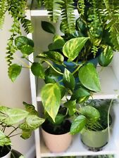 Golden Pothos Live HEALTHY ROOTED Cuttings Indoor Plant