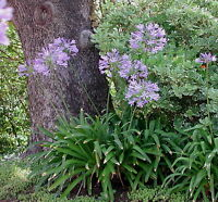 ✿Lily of the Nile✿25 SEEDS✿Flowers✿Blue African Lily✿Agapanthus africanus✿