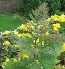 Grevillea - Robusta - 20 Seeds