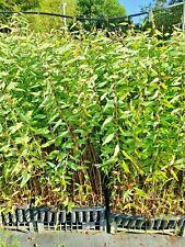 EUCALYPTUS CAMALDULENSIS offerta 40 piante alveolo Eucalipto rosso miele x legna