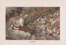Zauneidechse Lacerta agilis Farbdruck von 1913 Eidechse Eidechsen Lurche