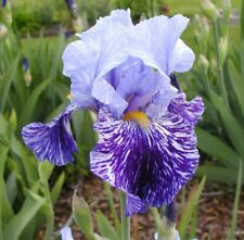 BEAUTIFUL MIXED COLOR BEARDED IRIS RHIZOMES BULBS PLANT 5 FINGERS