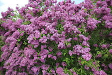 "8 PURPLE OLD FASHION LILAC BUSHES-Potted Plant The Most Fragrant Lilac 9-14""Tall"