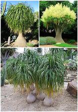 50 semi di nolina recurvata,beaucarnea recurvata,mangiafumo,seed succulents