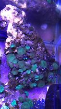 New listing live coral colony wysiwyg Live Rock Lava Lamp,Rodactis Colony Rock