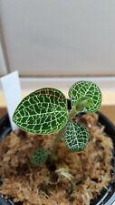Macodes Anoectochilus roxburghii 'Silver Mine' jewel orchid  1 STK