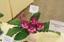 Streptocarpus 'Raydar'S Tensie'-African Violet Kin