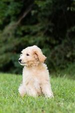 Golden Doodle Journal / Notebook, Paperback by Wild Pages Press (Cor), Isbn 1.