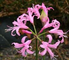 Nerine 'Bowdenii' (Guernsey Lily) Summer Flowering Bulb/Tuber
