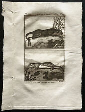 1799 - Buffon - La loutre du Canada, la petite loutre  - Gravure