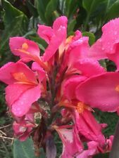 canna lily hot pink spotted tongue