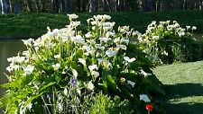 8 ARUM LILY PLANTS, WHITE.