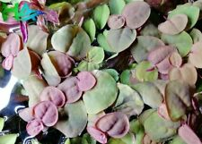 Red Root Floater | Phyllanthus fluitans | Floating Plant | Live Aquarium Plant