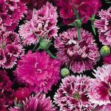 Dianthus chinesis DOBLE Mix - INDIO rosas - 10 gramos - Aprox 9000 Semillas -