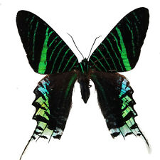 Urania leilus Real Butterfly Dayflying Moth insect art craft Fast Usa Shipping!