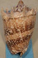 Cymbiola Imperialis 143mm Don Is Cebu,Philippines 10-15 Meters Coral Reef