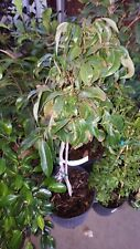 Trái vải - Sweet Heart Lychee - 2 Feet Tall - Air Layered Tree