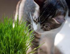 Cat grass 200 seeds Garden yard Patio Plants balcony Bonsai