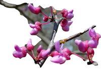 30 seeds wunderschöne Blühte 30 Samen Dietes iridioides,afrikanische Iris
