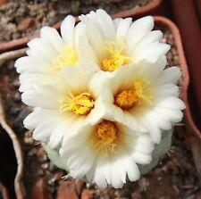 cactus Strombocactus disciformis beautiful miniature 150 SEEDS