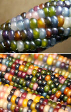 Colorful Rainbow GLASS GEM CORN Cherokee Indian Heirloom 30 Seeds-Unusial & Rare