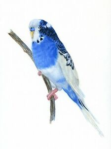 Blue and White Budgie Pet Portrait Watercolour PRINT from an Original Painting