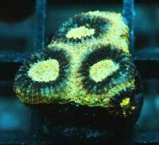 Live Coral: Wysiwyg Unique Blues Clues Favia Sps Acro Acropora Coral Frag