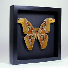 Real taxidermy butterfly mounted in elegant black wooden frame - Attacus atlas