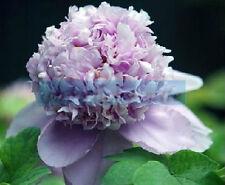 50 Rare China's Polyphyll Purple Peony Seeds Paeonia Suffruticosa Flower Tree