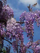 WISTERIA SINENSIS alveolo Glicine pianta Chinese Kidney Bean plant