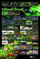 Ornamental Shrimp Poster RARE Edition, High Glossy images