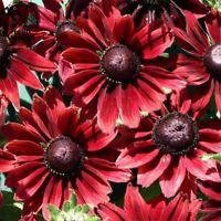 100X BLACK Red Rudbeckia Hirta Coneflower Perennial Flower Seeds Bonsai Plant
