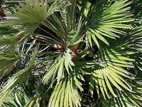 ** Wintehart Samen exotische Saatgut Zimmerpflanze Zimmerpalme ZWERGPALME